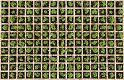 Jeunes herbes Image stock