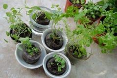Jeunes herbes sur l'étagère de balcon Image stock