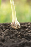 Jeunes jeunes plantes d'oignon Image libre de droits