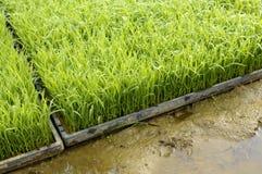 Jeunes jeunes plantes d'usine de riz prêtes pour planter l'élevage dans des plateaux dans la rizière Photos libres de droits