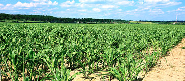 Jeunes jeunes plantes de maïs dans le domaine Photos libres de droits