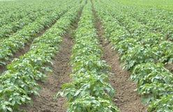 Jeunes jeunes plantes de pomme de terre Photo stock