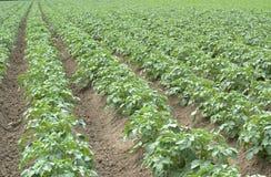 Jeunes jeunes plantes de pomme de terre Photographie stock