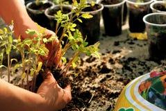Jeunes jeunes plantes de tomate Photos libres de droits