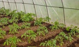Jeunes jeunes plantes de tomate en serre chaude au printemps Photo libre de droits