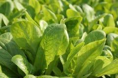Jeunes lames de légume Image stock