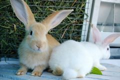 Jeunes lapins blancs et jaunes mignons en gros plan photographie stock libre de droits