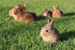 Jeunes lapins bruns sur l'herbe verte Image stock