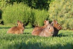 Jeunes lapins bruns sur l'herbe verte Photographie stock
