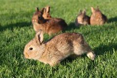 Jeunes lapins bruns sur l'herbe verte Photos libres de droits