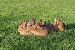 Jeunes lapins bruns sur l'herbe verte Photos stock