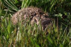 Jeunes lièvres se cachant dans l'herbe image libre de droits