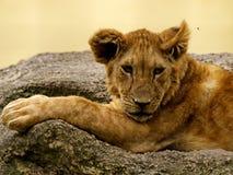 Jeunes lion et mouche photographie stock libre de droits