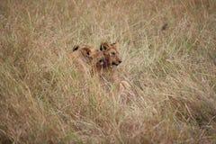 Jeunes lions dans la longue herbe Images libres de droits