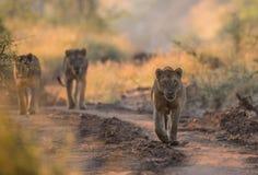 Jeunes lions masculins en parc national de Kruger Photo libre de droits