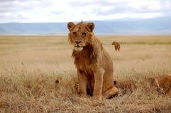 jeunes mâles de lion Photos stock