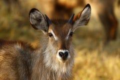 jeunes mâles de waterbuck Image libre de droits