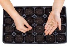 Jeunes mains semant les graines végétales dans le plateau de germination Image libre de droits