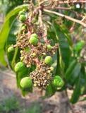 Jeunes mangue et fleur Photographie stock libre de droits