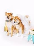 Jeunes mariés de crabot Shib-inu s'est habillé dans des costumes de jeunes mariés Photo stock