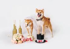 Jeunes mariés de crabot Shib-inu s'est habillé dans des costumes de jeunes mariés Photographie stock libre de droits