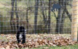 Jeunes montres de chien de berger de Shetland de sa clôture Image libre de droits