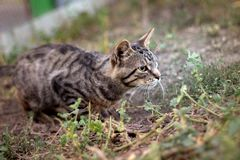 Jeunes montres rayées de chat pour la proie tout en chassant l'outdoors_ images stock