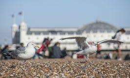 Jeunes mouettes et Brighton Pier photographie stock libre de droits