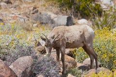 Jeunes mouflons d'Amérique de désert dans le désert d'Anza Borrego. Image stock