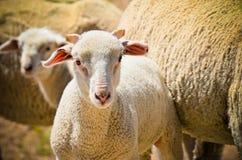 Jeunes moutons Photo stock