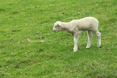 Jeunes moutons Images libres de droits