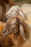Jeunes moutons dans la ferme Images libres de droits
