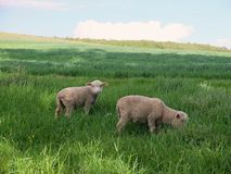 Jeunes moutons dans le pré Image stock