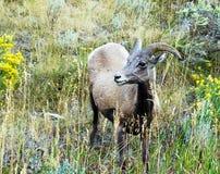 Jeunes moutons de Big Horn Image libre de droits
