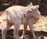 Jeunes moutons de dal Photographie stock libre de droits