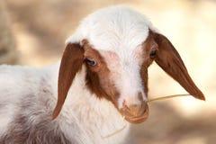 Jeunes moutons mignons mangeant le foin Photo stock