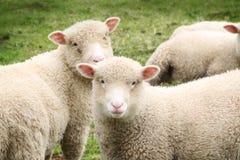 Jeunes moutons regardant l'appareil-photo Images libres de droits