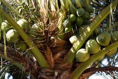 Jeunes noix de coco vertes sur un arbre de noix de coco - Ko Chang, Thaïlande, avril 2018 photo libre de droits