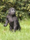 jeunes occidentaux de terre en contre-bas de gorille Photos libres de droits