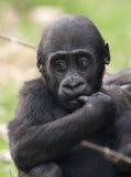 jeunes occidentaux de terre en contre-bas de gorille Photo stock
