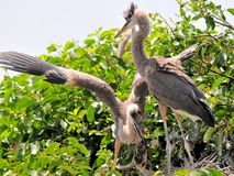 Jeunes oiseaux de héron de grand bleu dans le marécage Photo stock
