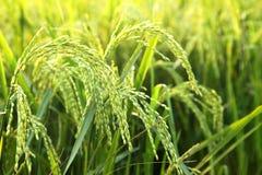 Jeunes oreilles de riz dans le domaine vert photographie stock libre de droits
