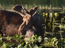Jeunes orignaux de Bull Photo stock