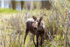 Jeunes orignaux de Taureau chez Sprague Lake en Rocky Mountain Park Colorado images libres de droits