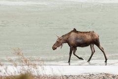 Jeunes orignaux marchant dans l'eau en eau peu profonde de lac figé image stock