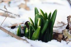 Jeunes perce-neige leur voie par la neige image libre de droits