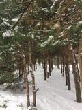 Jeunes pins Pinery Photos libres de droits