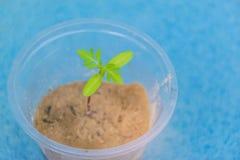 Jeunes plantes brouillées et molles de doux abstrait de foyer de souci dans l'argile avec le verre en plastique Photo libre de droits