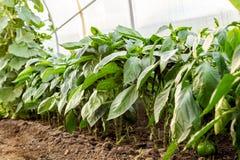 Jeunes plantes bulgares de poivron doux s'élevant en serre chaude Le concept d'élever la nourriture et les produits biologiques s photos stock