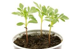 Jeunes plantes cultivées Photographie stock